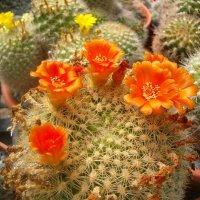 Цветущий кактус :: Герович Лилия