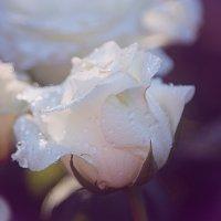 Rose :: Анна Шуваева