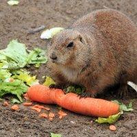 Любитель морковки :: Alexander Andronik