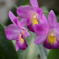 Орхидеи :: Анастасия Смирнова