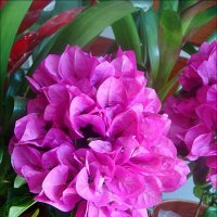Бугенвиллия в цвету :: Нина Корешкова