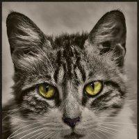 Взгляд-из серии Кошки очарование мое! :: Shmual Hava Retro