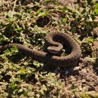 Змейка :: Александр Балыклов