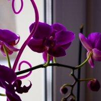 Орхидея :: Владимир Нев