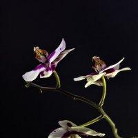 Изящество орхидеи :: Светлана Л.