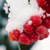 Зимняя калина :: Георгий Врубель