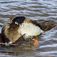 Как с утки вода... :: Ирина Фирсова
