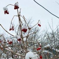 Калина в снеге. :: Sergey Serebrykov