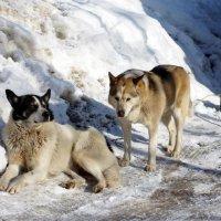 Бездомные собаки, загорают и ждут весну. :: Ирина Крохмаль