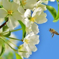 Яблони  цвет :: Геннадий С.