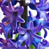 Цветы гиацинта. :: Валерия Комова