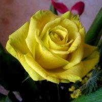 Желтая роза :: Елена Семигина