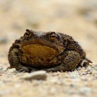 земляная жаба :: Андрей Соловьёв