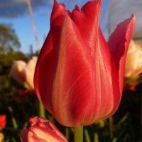 тюльпаны :: Светлана