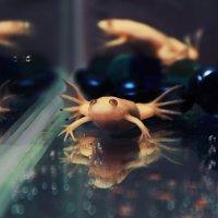 Шпорцевые лягушки :: Aleksandra Santey
