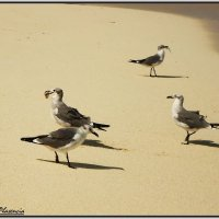 Карибские чайки :: Svetlana Galvez