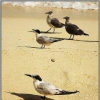 Карибские чайки :: Svetlana Plasentsiia