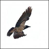 Полёт вороны. :: Николай Е
