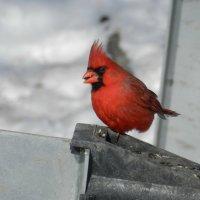 Красный кардинал у меня в гостях... :: Юрий Поляков