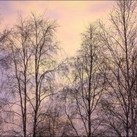 Северные березки зимой :: Виктор Коршунов