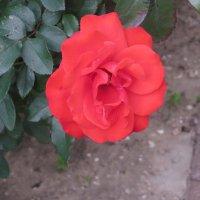 Январская роза :: Герович Лилия