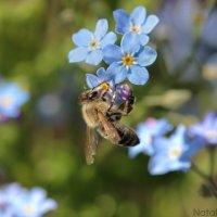 Пчела в незабудках... :: Наталья Лазуткина Natalia Lazutkina