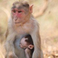 мадонна джунглей Мумбаи Национальный парк. :: maikl falkon