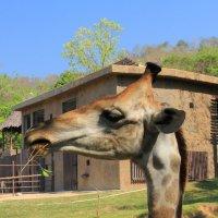 Портрет молодого жирафа с веточкой (в профиль) :: Vladimir 070549