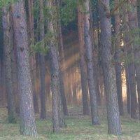 Сосновый лес. Туман и солнце. :: Олег Козлов