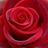 Красная-прекрасная. :: Чария Зоя