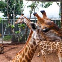 Грустные жирафы. :: Rafael