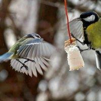 Кстати о птичках... Консенсус...или снова про сало... :: Александр Резуненко