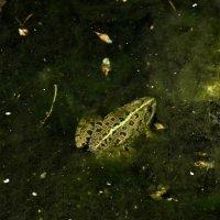 Царевна - лягушка. :: Елена Дёмина