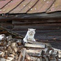Провинциальный кот :: Алексей Шаповалов Стерх
