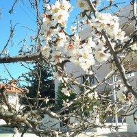 Февральское цветение миндаля. :: Жанна Мааита