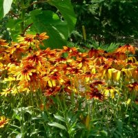 Цветет рудбекия. :: Чария Зоя