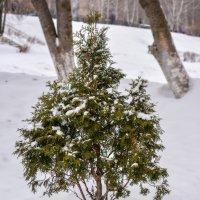 Дерево :: Наталья Чуфистова
