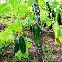 Хороший урожай ! :: Damir Si