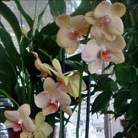 Орхидея на продажу :: Нина Корешкова