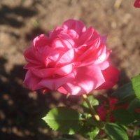 роза :: Таня Кукольникова