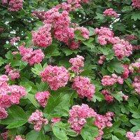 Боярышник с махровыми цветами :: laana laadas