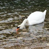 Лебедь :: Alexey Lipchanskiy
