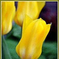 Желтые тюльпаны... :: Надежда