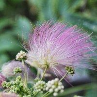 Южный цветок :: Николай Гирев
