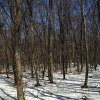 В весеннем лесу. :: Николай Сидаш