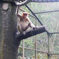 В зоопарке Кота Кинабалу. Обезьяна носач  или пробоскос :: Елена Павлова (Смолова)