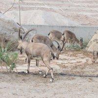 Семейка горных нубийских козлов зашла в гости :: Герович Лилия