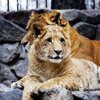 Big cat :: Сергей Nikon