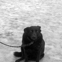 Собака-неулыбака. :: сергей лебедев