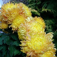 хризантемы :: svetlanavoskresenskaia